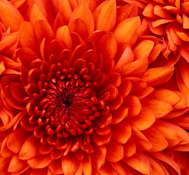Candelaria Flower1